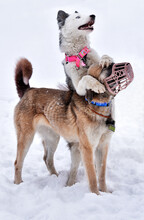 A Dog Of The Yakut Laika Breed Hugs A Kangal (Turkish Anatolian Shepherd) Dog In A Muzzle While Playing In The Snow