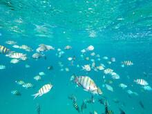 Tropical Fish In The Ocean In Barbados