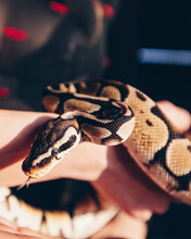 Head Of Ball Python Butterfire Spider Coiled In Serpentine On Hand.