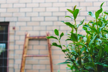 Rusty Orange Ladder Leaning Against Brick Wall With Leafy Green Plant