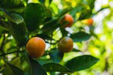 Small Orange Clementine Mandarin Tangerine In Fruit Tree Orchard