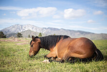Horse Laying In The Sun Taking A Nap