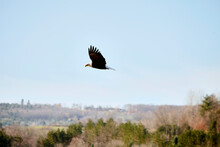 A Bald Eagle In Flight With The Countryside Behind