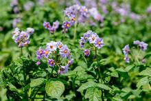 Flowering Potatoes, Purple Potato Flowers In The Garden