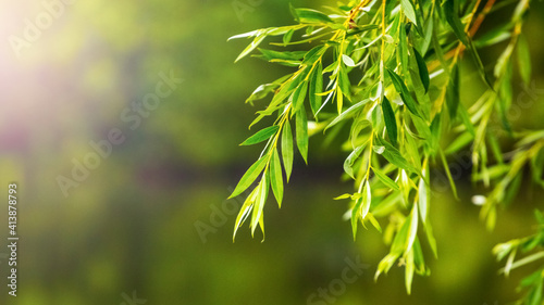 Fotografia Willow branches with green leaves on a blurred background in sunlight
