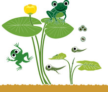 Frog Life Cycle. Sequence Of Stages Of Development Of Cartoon Frog From Frogspawn To Adult Animal