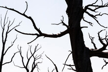 Silhouette Of Dead Tree Trunks And Twisted Branches Against A Pale Sky