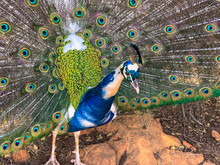 Close Up Male Peacock, Which Has Very Long Feathers That Have Eye-like Markings And Erected And Fanned Out In Display
