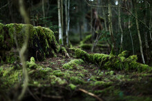 Overgrown Tree Trunk In The Thuringian Forest, Germany.