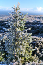 Vertical View Of Small Frozen Fir Christmas Tree With Beautiful Frozen Gorse Plant Along Path To Fairy Castle (Two Rock Mountain), Dublin Mountains, Ireland
