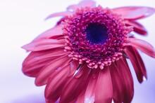 Gerbera Pink Mit Regentropfen
