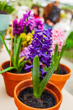 Nice Spring Flowers In The Pot