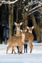 Three Deer In The Winter Forest. Animal In Natural Habitat