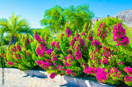 Fotomural Blooming bougainvillea