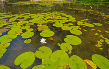 Lily Pads On A Wilderness Lakeshore