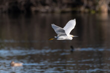 Elegant Snowy White Egret Glides Over The Lagoon Pond Water Surface With White Feathers Reflecting The Warmth Of Morning Sunlight.