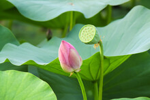 Lotus Bud And Faded Lotus On A Background Of Green Lotus Leaves