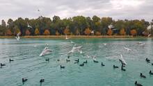 Fulica Atra, Eurasian Coot And Seagulls  Floating On The Lake, Autumn, Adana, Turkey
