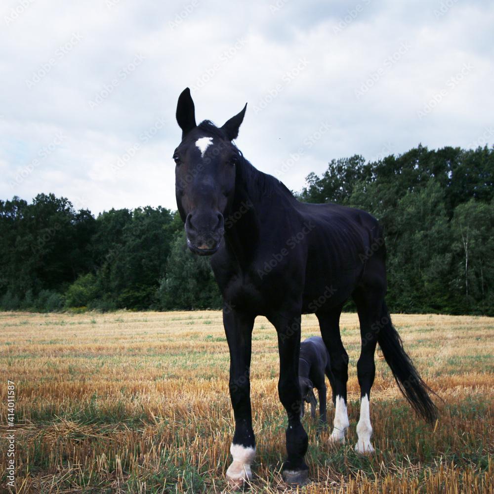 Fototapeta koń, ściernisko, hipoterapia