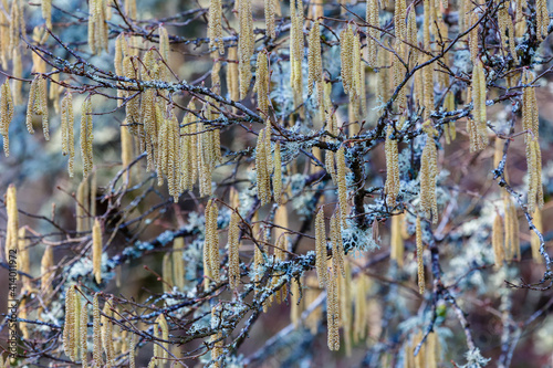Close-up of common alder branches with male catkins. Alnus glutinosa. © LFRabanedo