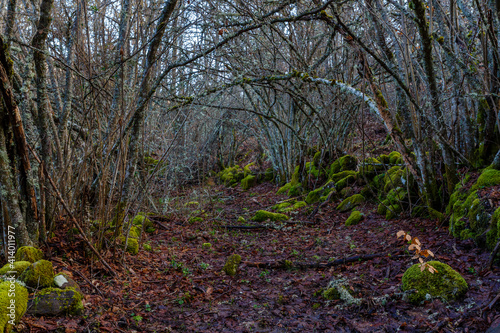 Path through mountain forest in winter, with the detail of a beech bud with its leaves, ground covered with leaves and rocks covered with moss. © LFRabanedo