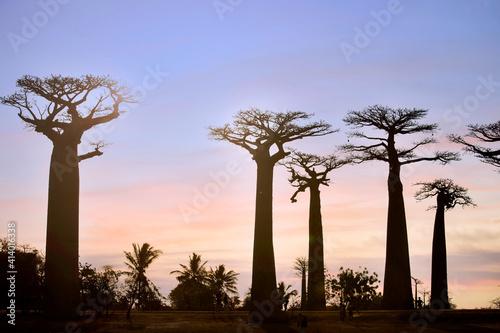 Fotografía MORONDAVA-MADAGASCAR-OCTOBER-7-2017: Tourism peoples with a Beautiful Baobab tre