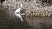 Adult Great Egret Wadding In River Toward Tall Dry Reeds
