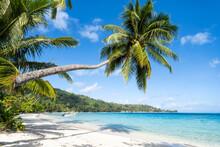 Palm Tree At Matira Beach On Bora Bora, French Polynesia