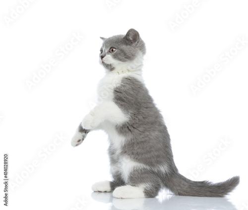 Obraz na plátne beautiful british shorthair cat standing on hind legs