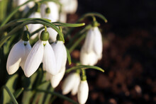 Snowdrops Blooming In The Forest In Evening Light. First Spring Flowers Close Up