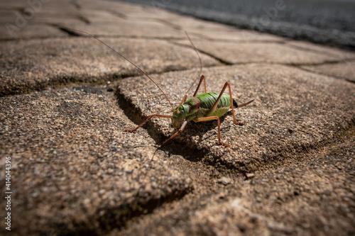 Macro shot of a grasshopper on the ground Wallpaper Mural