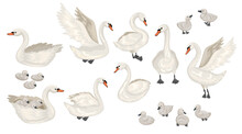 Set Of Different Swans. Cubs And Adults. Lecturing, Floating Birds. Vector Flat Illustration.
