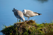 Two Young Common Gulls, Larus Canus In Juvenile Plumage Standing On A Sod In A Bog Pond