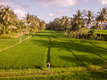 Aerial View Of A Tourist Looking Over A Plantation Field With Palm Trees Near Ubud, Bali, Indonesia.