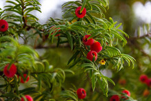 Taxus Baccata, Green Branches Of  Berry  Yew Tree With Red  Fruits. Evergreen Ornamental Plant, Conifer Shrub..