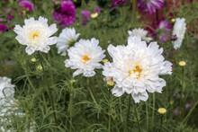 Garden Cosmos (Cosmos Bipinnatus) In Garden