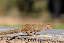 The Indian Grey Mongoose Is A Mongoose Species Native To The Indian Subcontinent And West Asia.