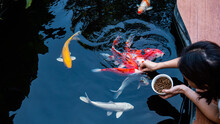 Feed The Koi Or Crap With Your Bare Hands. Fish Tamed To The Farmer. An Outdoor Koi Fancy Fish Pond For Beauty And Relaxation.