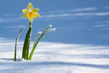 Frühlingserwachen Gelbe Narzisse Im Schnee