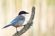 Pega azul, ave relativamente esguia, de dimensão média cauda comprida e batimento de asas em voo muito rápido.