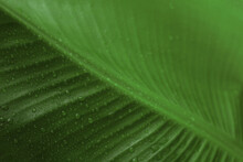 Fresh Green Banana Leaf With Water Drops As Background, Closeup. Tropical Foliage