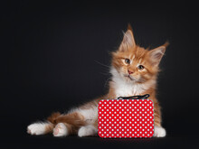 Handsome Red With White Maine Coon Cat Kitten, Sitting Side Ways Behind Little Suitcase. Looking Straight To Camera. Isolated On Black Background.