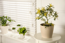 Houseplants In Room, Focus On Potted Mimosa. Space For Text