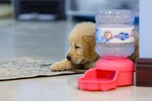 Golden Retriever Puppy Looking Its Pee Pad.
