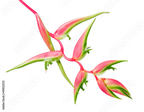 Fotografía Heliconia chartacea flower, Tropical flowers isolated on white background, with