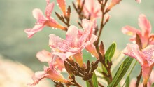 Photo Of Artistic Pink Nerium Oleander Flowers In The Garden