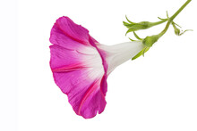 Pink Flower Of Ipomoea, Japanese Morning Glory, Convolvulus, Isolated On White Background