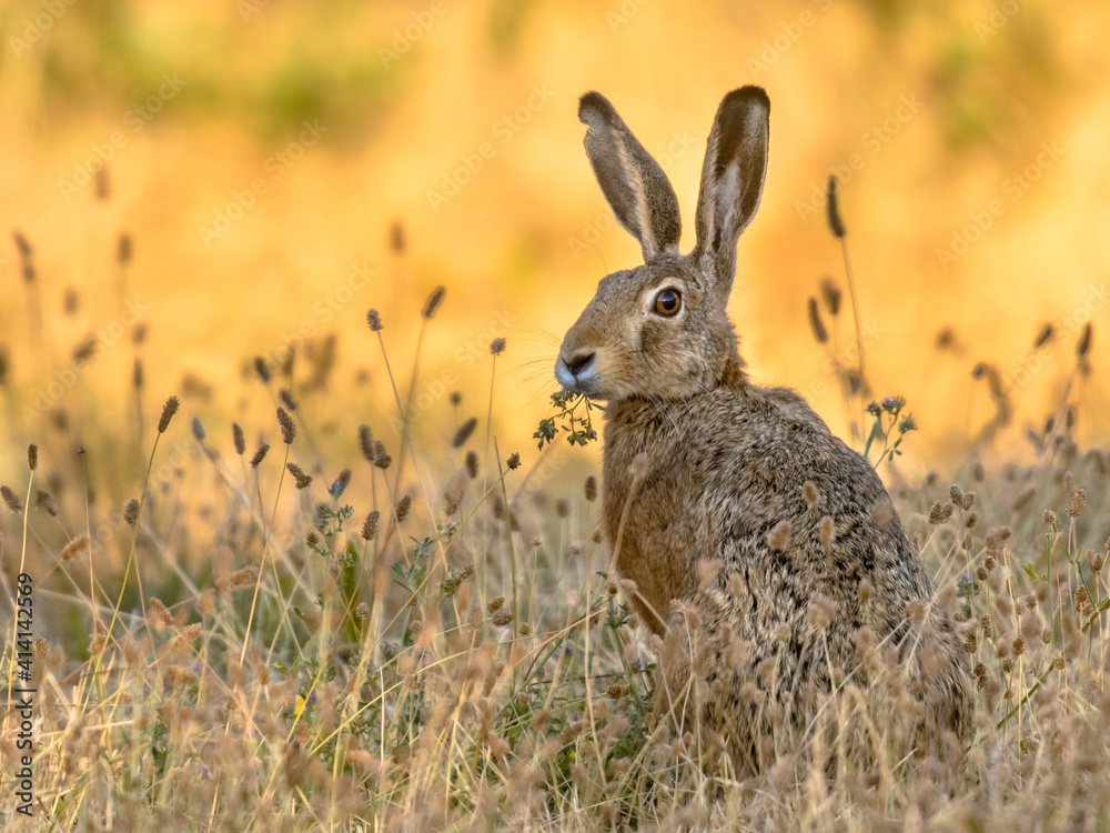 Fototapeta Lepus. Wild European brown hare on orange background