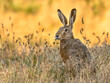 Lepus. Wild European brown hare on orange background
