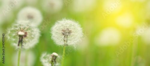 Obraz Green flower field with dandelions - fototapety do salonu